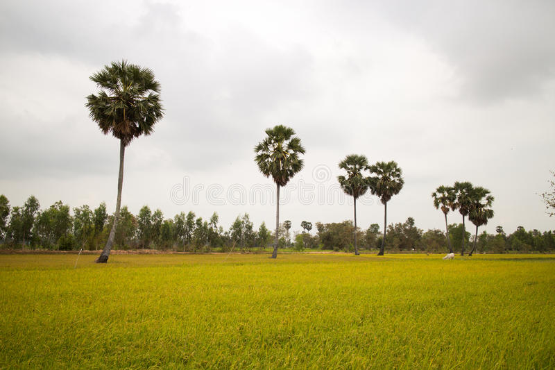 Download Rice Field And A Row Of Palm Trees In Cambodia Asia Stock Photo - Image: 91411648