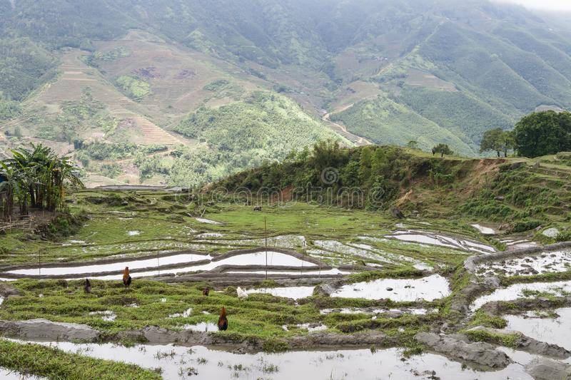 Rice field sapa stock image