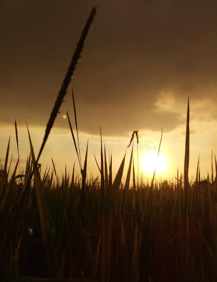 The rice field saw the sunset Golden light royalty free stock image