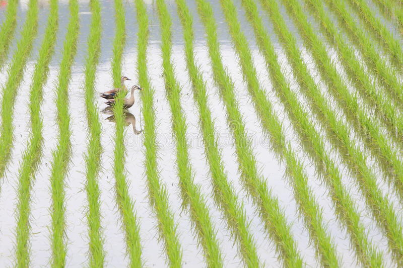 Rice Field. Field of the Rice Seedlings