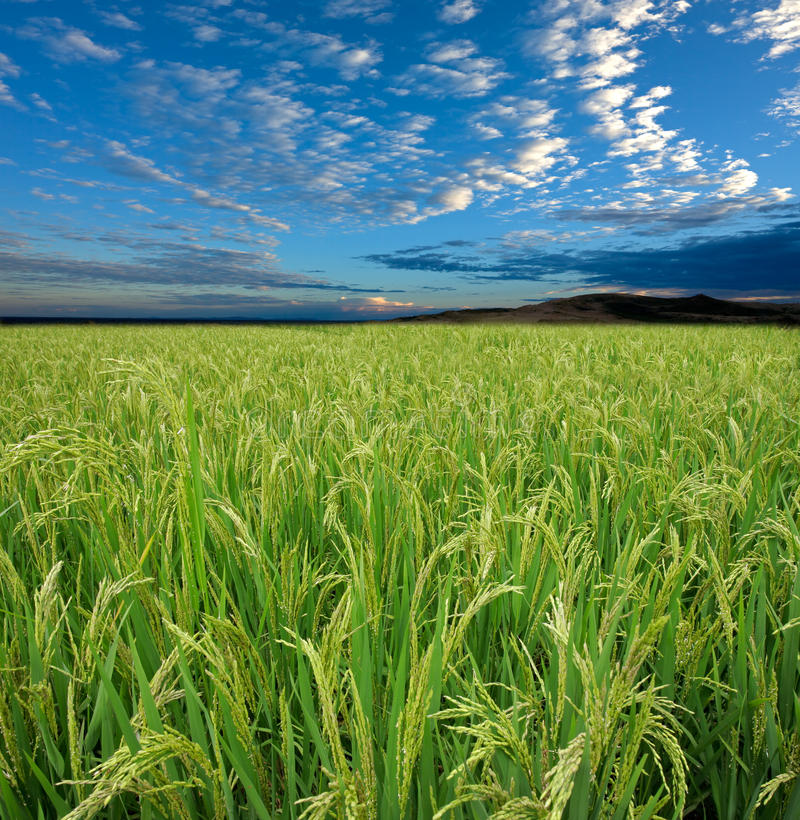 Download Rice field and sky stock image. Image of rural, flora - 16095157