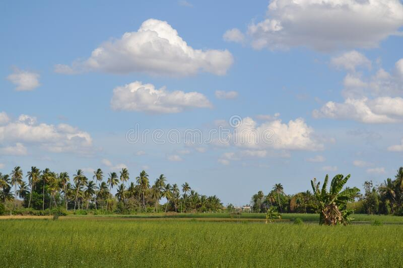 The rice field with sky stock image
