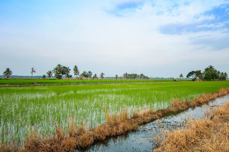 Download Rice field stock photo. Image of green, plant, tractor - 36728180