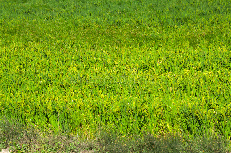 Rice field in summer royalty free stock images