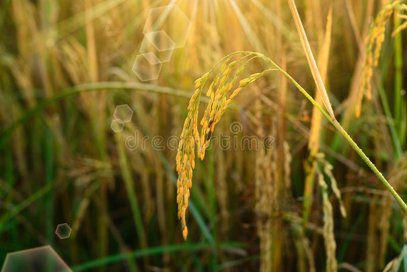 Rice field. With sun rays and lens flare stock photos