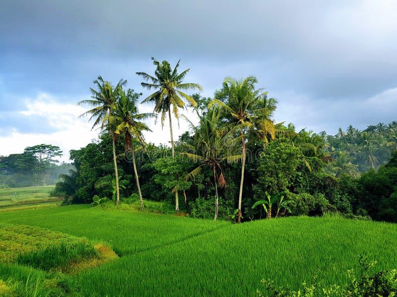 Rice field terrace landscape in mambal bali 5 stock image