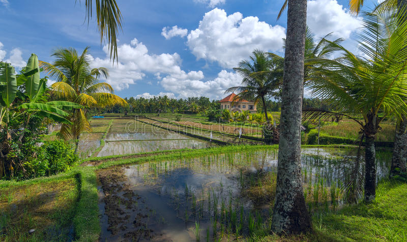 Rice field at the town of Ubud in Bali. House on rice field at the town of Ubud in Bali in sunny summer day stock image