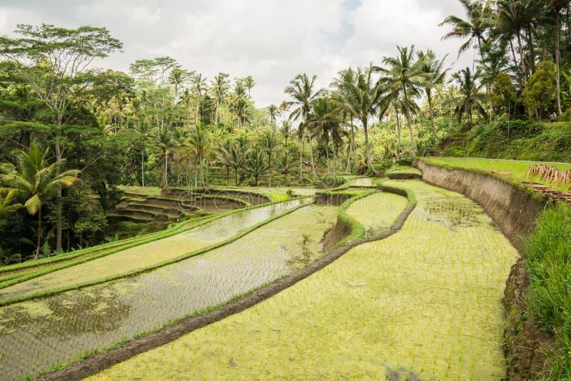Rice field at ubud, bali royalty free stock photos