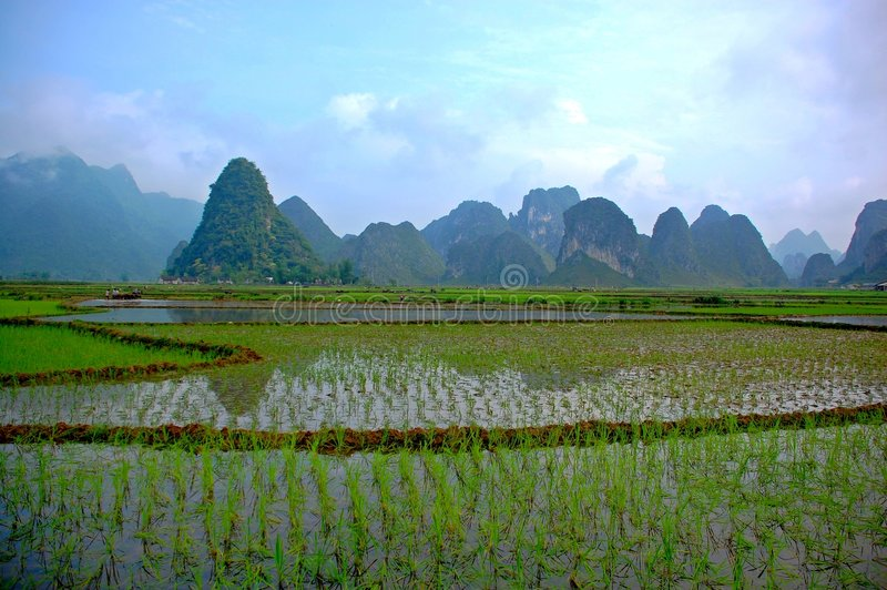 Rice field on the valley royalty free stock photo
