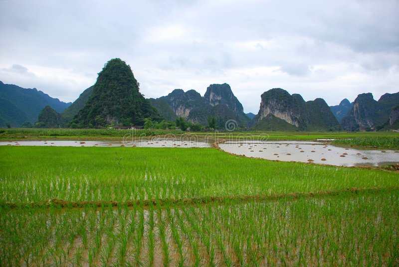Rice field on the valley royalty free stock image