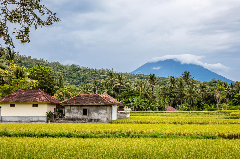 Rice field with a view of Mount Agung, Bali Island, Indonesia. Rice field with a view of Agung volcano, Bali Island, Indonesia stock images