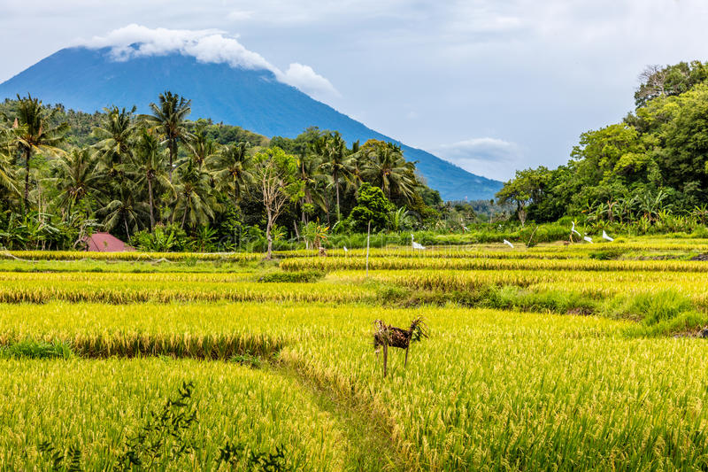 Rice field with a view of Mount Agung, Bali Island, Indonesia. Rice field with a view of Agung volcano, Bali Island, Indonesia royalty free stock photos