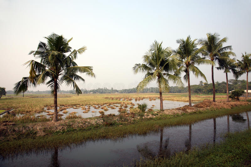 Rice field, West Bengal, India. royalty free stock photo