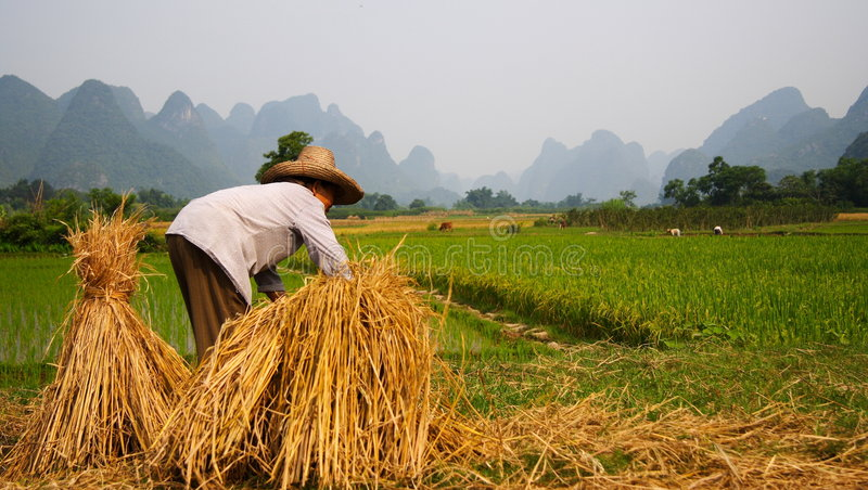 Rice Field Work China stock images
