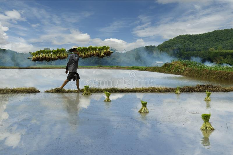 Download Rice field worker editorial photography. Image of countryside - 102337142