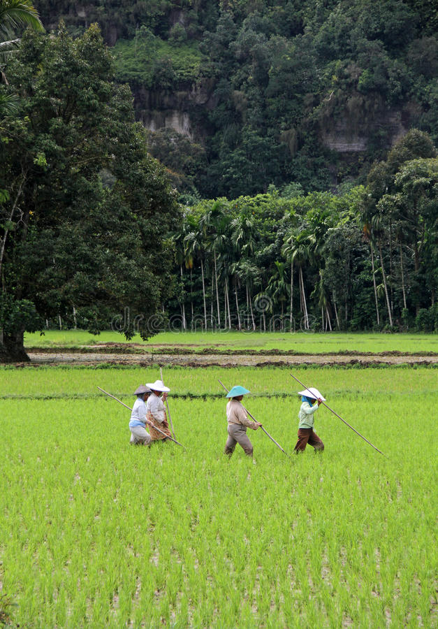 Rice Field Workers in the Harau Valley in West Sumatra, Indonesia stock image