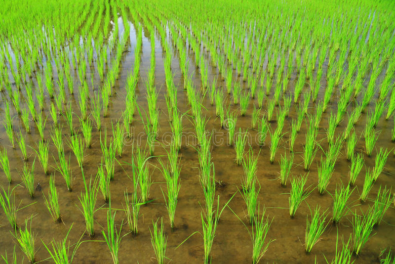 Download Rice Field Royalty Free Stock Photos - Image: 31221908