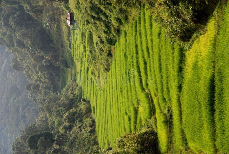 Free Rice Fields Stock Photo - 11673930