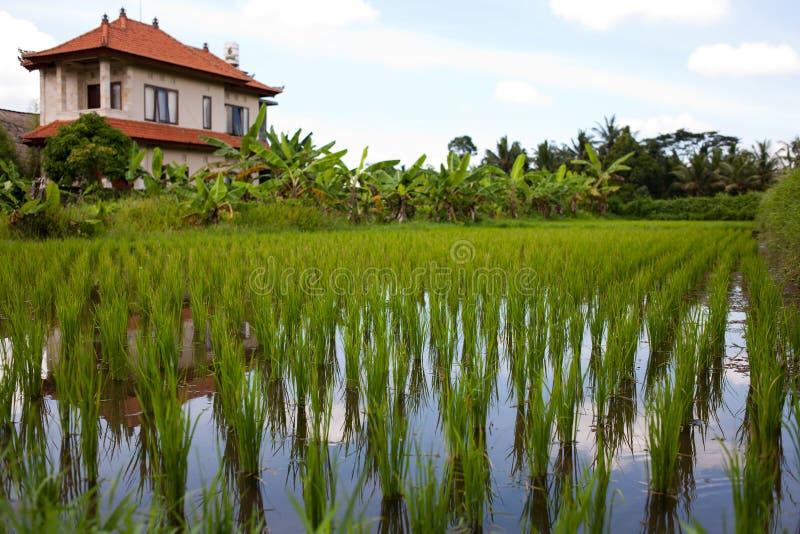 Download Rice fields stock photo. Image of bali, lush, beauty - 27147326