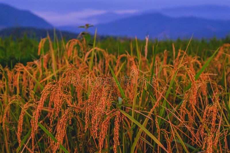 Rice fields in backlit corner of the morning sun on the mountain stock photography