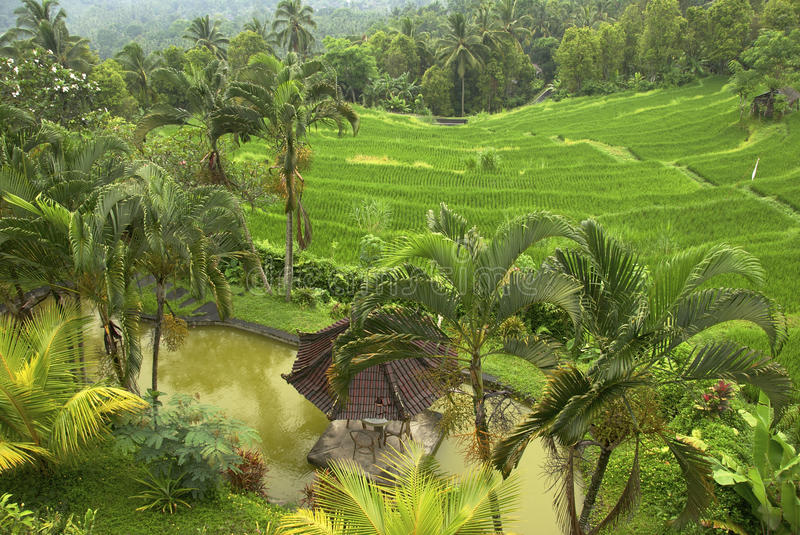 Rice Fields, Bali royalty free stock photography