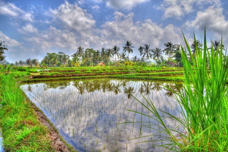 Rice fields in Bali stock photo