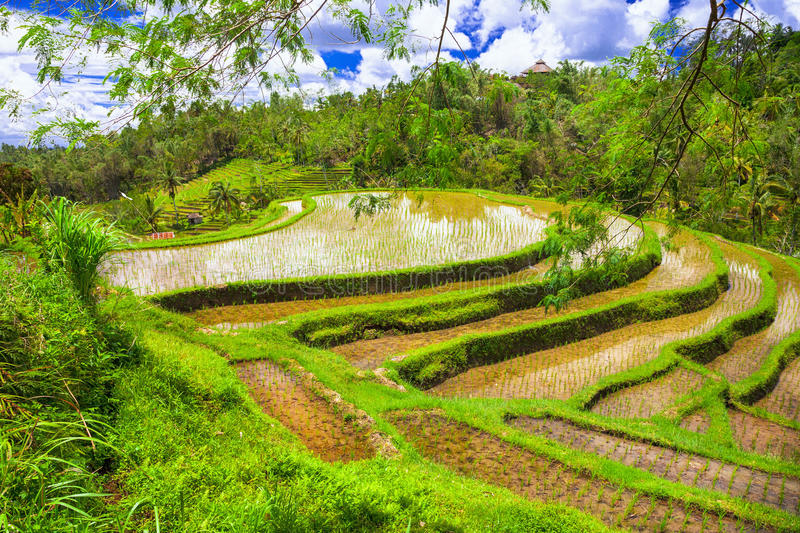 rice fields in Bali island royalty free stock image