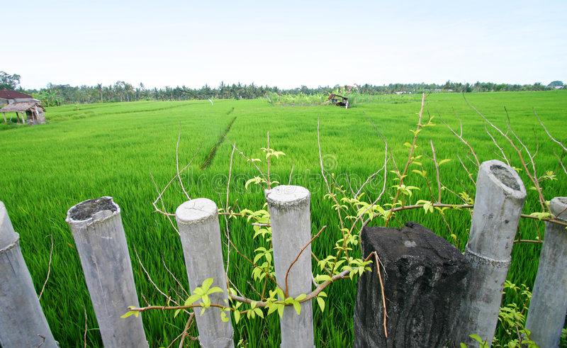 Download Rice Fields, Bali Scenic Landscape, Asia Royalty Free Stock Images - Image: 7584909