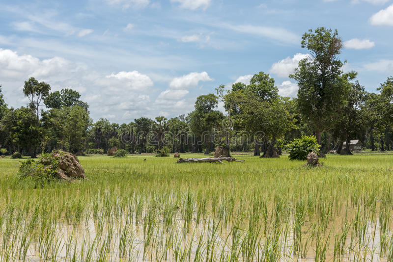 Rice fields in Cambodia royalty free stock images