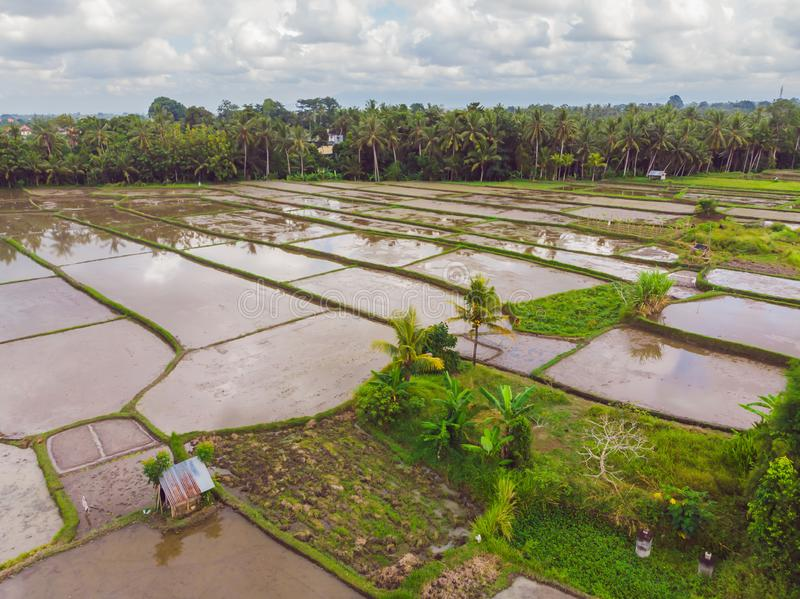 The rice fields are flooded with water. Flooded rice paddies. Agronomic methods of growing rice in the fields. Flooding. The fields with water in which rice stock images