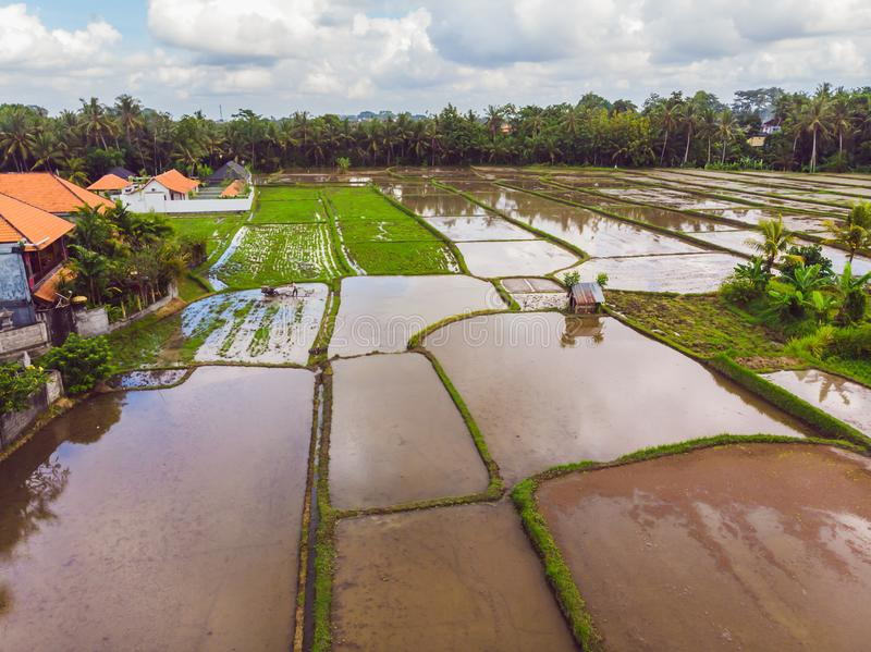 The rice fields are flooded with water. Flooded rice paddies. Agronomic methods of growing rice in the fields. Flooding. The fields with water in which rice stock image