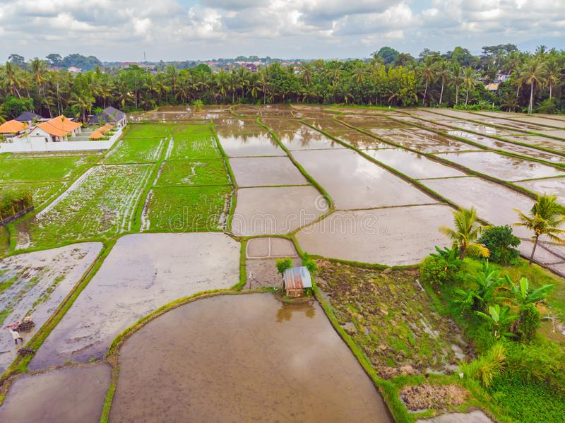 The rice fields are flooded with water. Flooded rice paddies. Agronomic methods of growing rice in the fields. Flooding. The fields with water in which rice stock photo