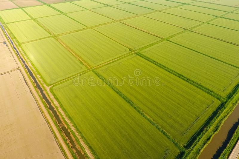 The rice fields are flooded with water. Flooded rice paddies. Agronomic methods of growing rice in the fields. Flooding the fields with water in which rice royalty free stock photography