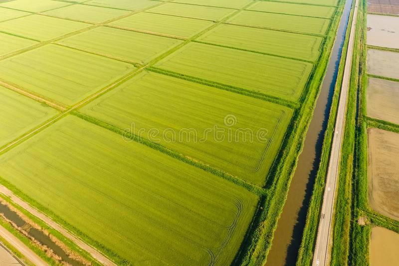 The rice fields are flooded with water. Flooded rice paddies. Agronomic methods of growing rice in the fields. Flooding the fields with water in which rice stock photo
