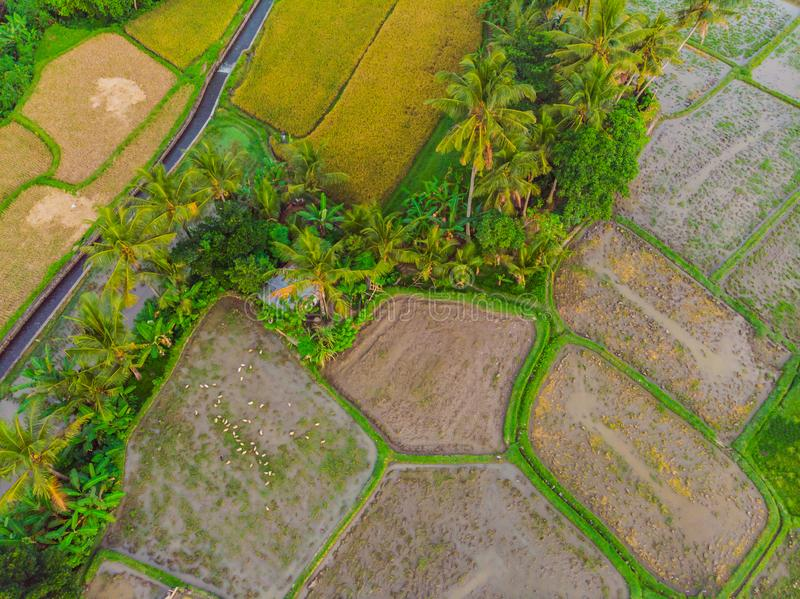 The rice fields are flooded with water. Flooded rice paddies. Agronomic methods of growing rice in the fields. Flooding. The fields with water in which rice stock photos