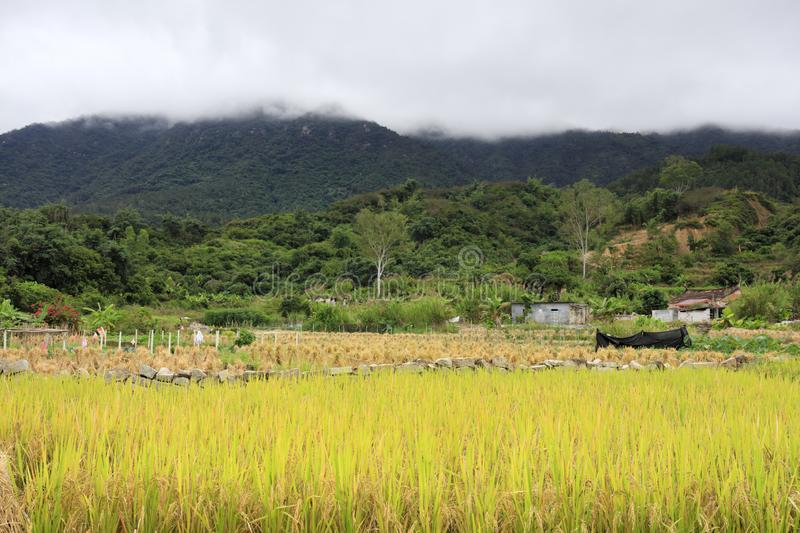 Rice fields at the foot of the mountain, adobe rgb. Harvest paddy field in neitiancun village of lianhua town, xiamen city, fujian province, china. the mountains stock image