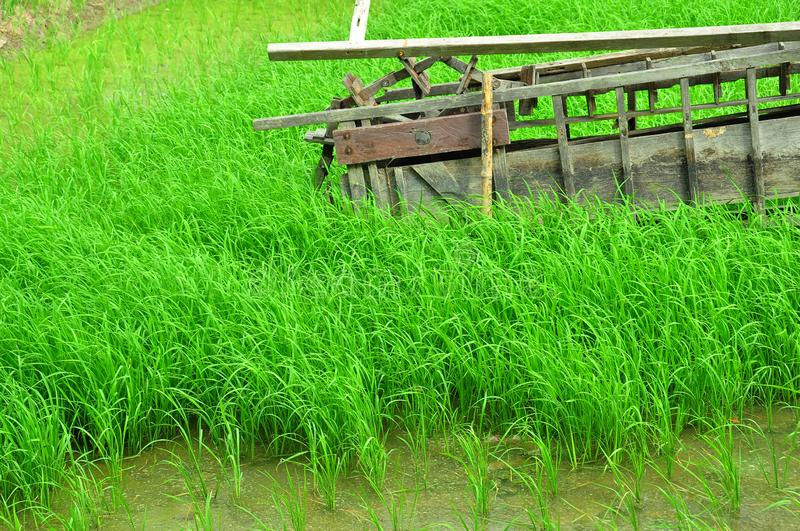 The The rice fields grow beautiful green. Rice fields grow beautiful green Rice plot Bent tree water royalty free stock photography