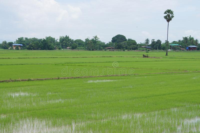 The rice fields have green seedlings. And nourishing water for rice royalty free stock photo