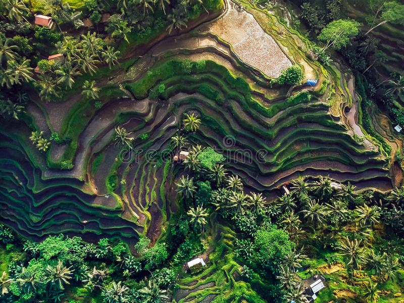 Rice fields on the mountain ,the view from the top.  royalty free stock photography