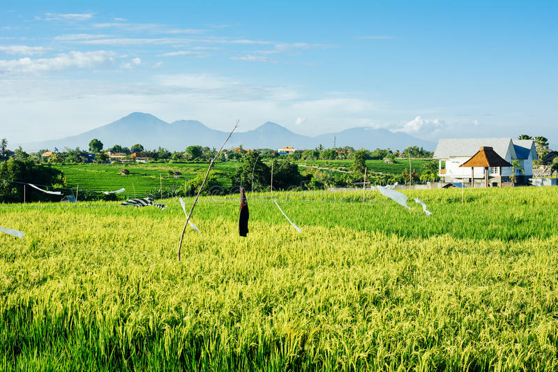 Rice fields with mountains on background stock image
