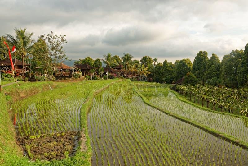 Rice fields in Munduk in Bali stock images