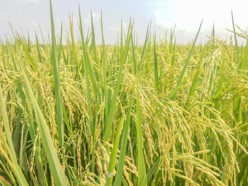Download Rice Fields Near Harvest Colors. Stock Image - Image: 65554863