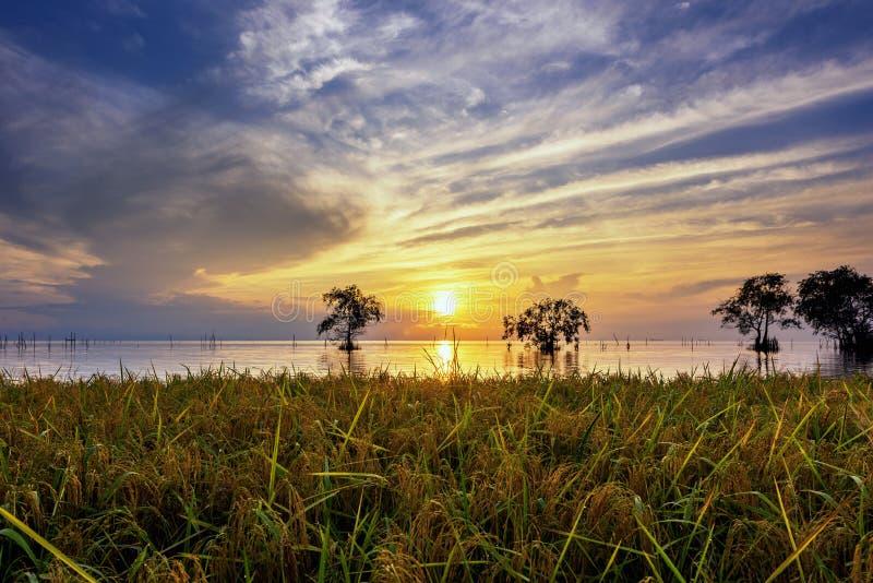 Rice fields near lake with sunrise sky stock image