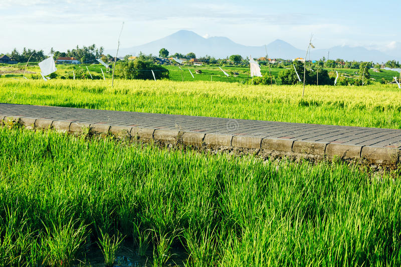 Rice fields and road with mountains on background royalty free stock images