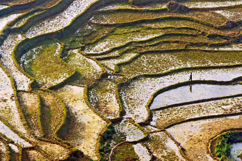 Rice Fields Sapa, Vietnam. Farmer walking Along Paddle Rice Fields in Sapa, Vietnam royalty free stock photography