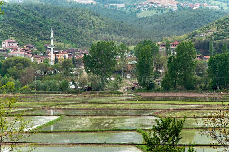 Rice fields in sinop. Turkey royalty free stock photography