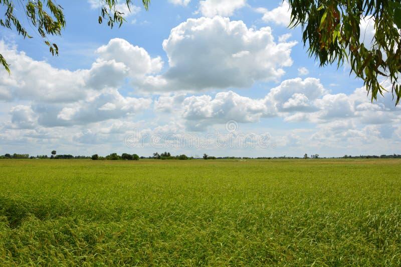 Rice fields sky royalty free stock image