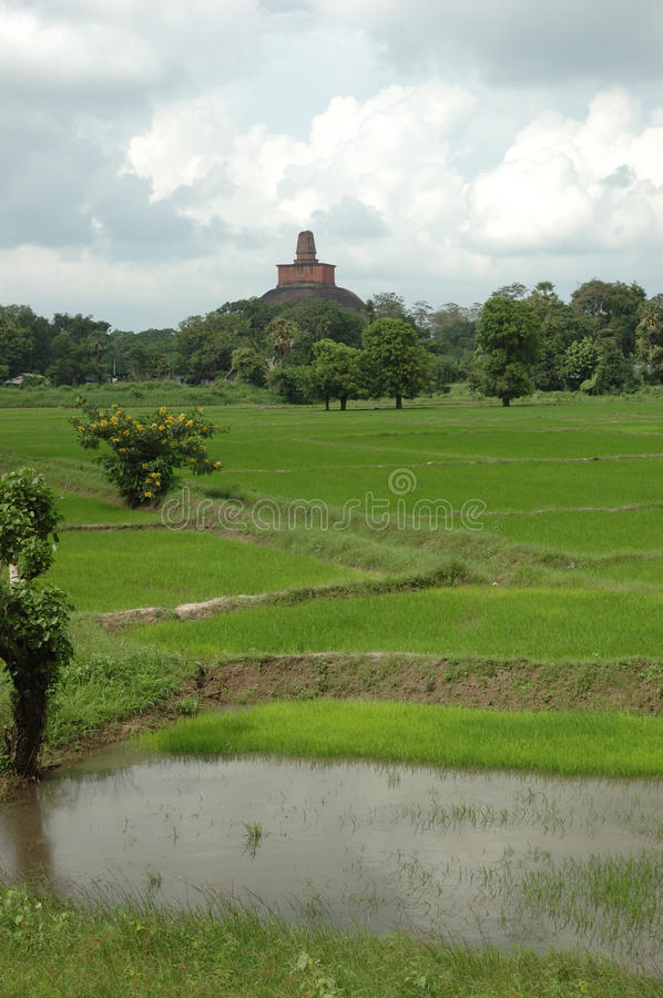 Rice fields of Sri Lanka royalty free stock image