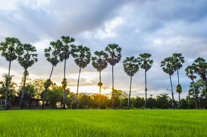 Rice fields and sugar palm tree. stock images