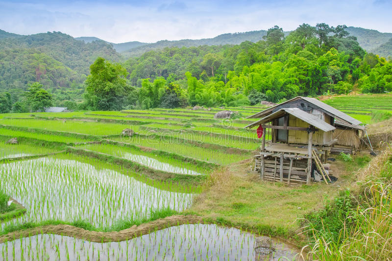 Rice fields on terraced of Ban Mae Klang Luang, Doi Inthanon ,Chiangmai, Thailand. Rice fields prepare the harvest at Northern royalty free stock photo